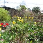 春はチューリップがきれいに咲いております。